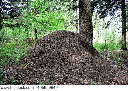 Large Big Anthill Or Ant Hill In Forest. High Anthill With Colony Of Ants In Summer. Anthill On Coni