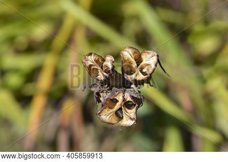 Small Daylily Seed Pods - Latin Name - Hemerocallis Minor