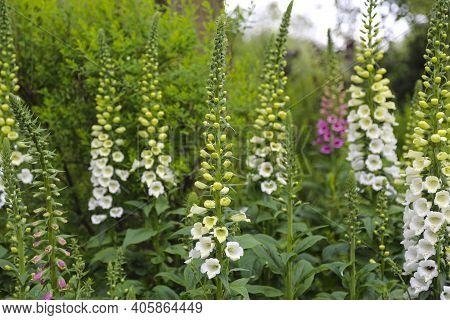 Flowerbed With Viburnum Plicatum Summer Snowflake And Digitalis Purpurea Alba Foxglove