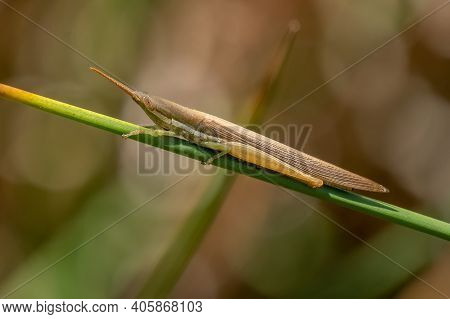 A Cattail Toothpick Grasshopper (leptysma Marginicollis) Clings To A Green Stem. Raleigh, North Caro