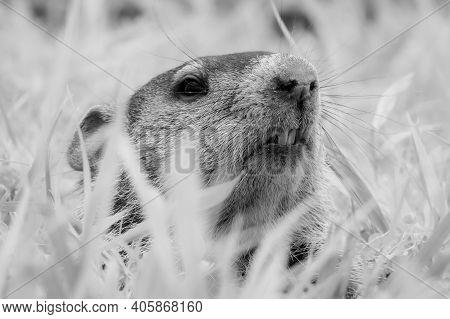 Black And White Of A Groundhog (marmota Monax) Peeking From Its Burrow. Raleigh, North Carolina.