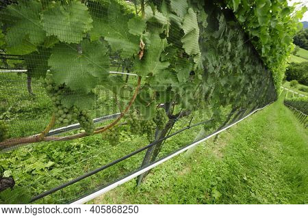 Vineyard With Vines With Green Leaves