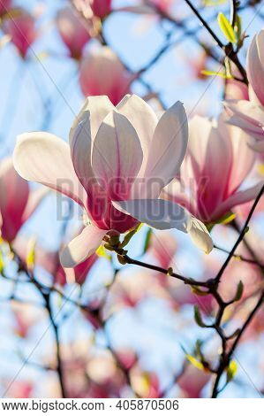 White Magnolia Blossom In Sunlight. Flowers On The Branches In Bright Sunlight. Beautiful Nature Bac