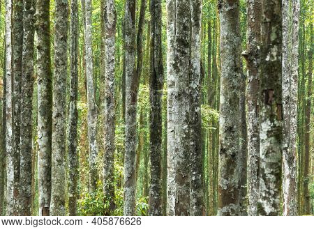 Abstract Natural Background Made of Tree Trunks. Fresh Spring Forest Lands. Gorgeous Tall Majestic Trees Producing Fresh Air.