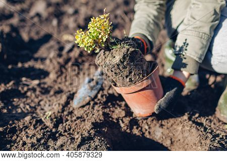Gardener Transplanting Barberry Bush From Container Into Soil Putting It In Hole. Spring Gardening W