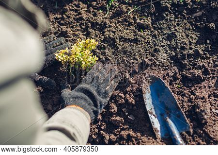 Gardener Transplanting Barberry Bush From Container Into Soil Tramping Down Durt. Spring Gardening W