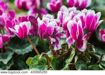 Cyclamen Flower. Flower In Garden At Spring Day. Flower For Decoration And Agriculture Concept Desig