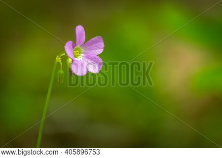 Closeup Of A Violet Woodsorrel (oxalis Violacea) Bloom. Plenty Of Text Space For A Loved One.
