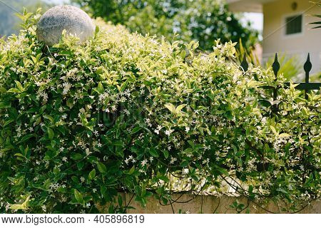 Fluffy Bushes Of Jasmine With White Inflorescences On A Metal Fence Near The House.