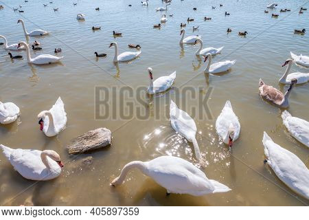 Graceful White Swans Swimming In The Lake, Swans In The Wild. The Mute Swan, Latin Name Cygnus Olor.