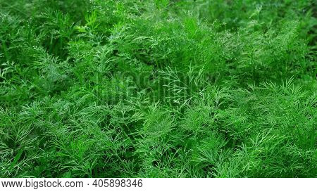 Lots Of Young Dill Plants With Dewdrops On Bright Green Leaves, Floral Background, Close-up