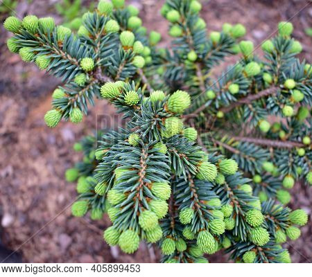 Blue Spruce Seedling. Fir Tree Or Spruce Buds. Young Green Sprouts Fir Tree Seedling Needles. Fresh