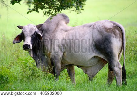 Holstein Cow. Dairy Cow. Cowshed On Summer Pasture. Cow On Summer Pasture. Fresh Cows Milk Concept