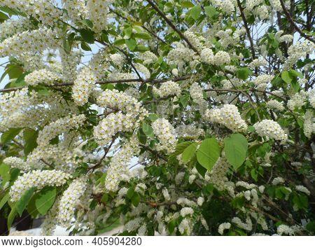 Bird Cherry (prunus Padus, Hackberry, Hagberry Or Mayday Tree). Closeup Of Bird Cherry Tree Branch O