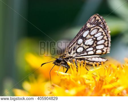 Close-up Of Butterfly Heteropterus Morpheus On The Bright Yellow Flower