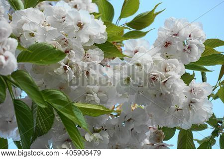 Delicate And Beautiful Shirotae Cherry, Mount Fuji Cherry, Blossom With White Double Layer Flowers A