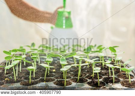 Farmer Spray The Water To Sapling Of Melon In Nursery Tray