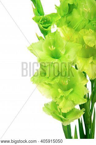 Beautiful Gladiolus Flowers Isolated On White Background