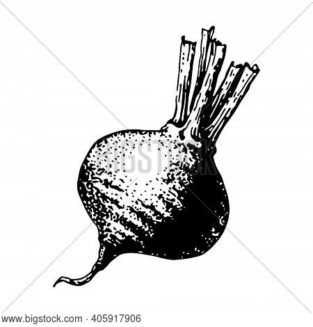 Vector Illustration, Beetroot Sketch. Isolated Beetroot. Engraved Art. Organic Sketched Vegetarian O