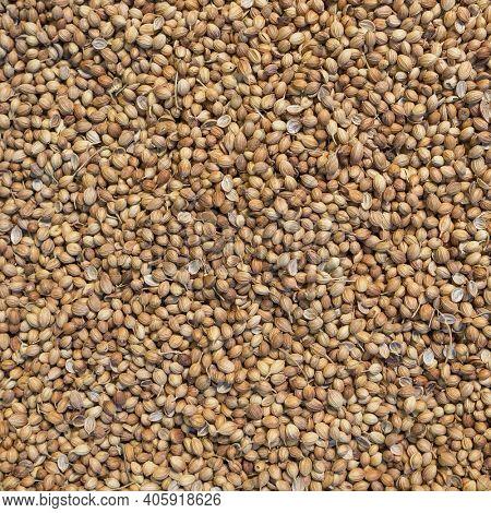 Organic Dried coriander seeds Coriandrum sativum close-up background texture.