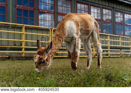 Photo Of Funny Alpaca Grazing Grass At The Canadian Food And Agriculture Museum, With Yellow Fence B