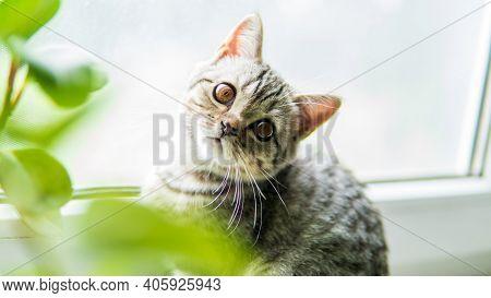 Lovable Scottish Fold Cat Window Plant Happy