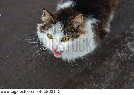 Cute Kitty Looking At Camera. High Angle Portrait Of Cat Meowing.