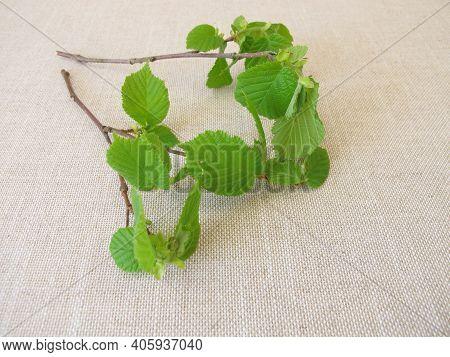 Hazelnut Twigs With Young Green Hazelnut Leaves