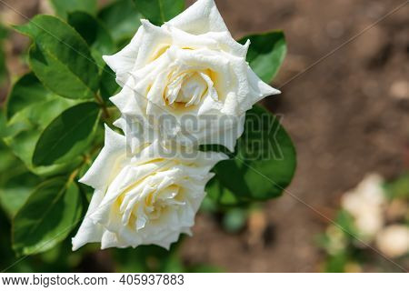 White Roses Bloom In The Summer Garden. Beautiful Delicate Rose Close-up On A Blurry Green Backgroun