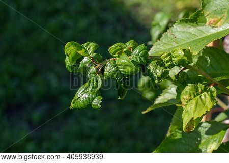 Cherry Branch Affected By A Pest, Curling Leaves, Aphid Infestation, Close-up Nature