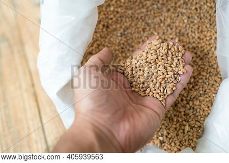 Barley, Dry malt beans ready to be used to brew the beer. Malt, barley for craft beer.