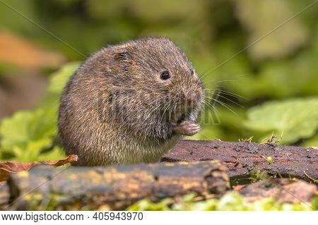 Field Vole Or Short-tailed Vole (microtus Agrestis) Walking In Natural Habitat Green Forest Environm