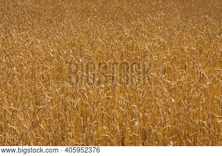 Wheat Field. Ears Of Golden Wheat. The Concept Of A Rich Harvest. Golden Spikelets Of Ripe Wheat In