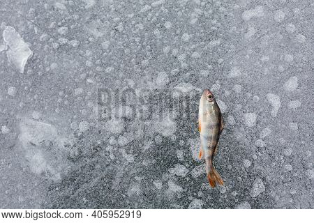 One Perch Fish And On The Ice On The River. Ice Fishing. Fish Background. Winter Fishing Concept