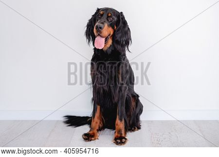 Scottish setter dog with tongue out indoors