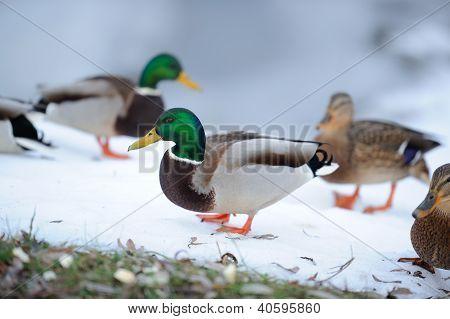 Flock Of Mallard Ducks In Winter