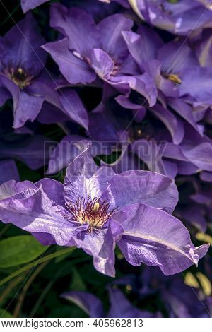 The Purple Clematis Flower Opens To Reveal A Particularly Detailed Center. Lush Thickets Of Lilac Cl