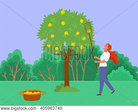 Farmer Picking Apples From The Tree Vector Illustration. Woman Harvesting Ripe Apples. Female Picks