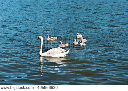 Female White Swan With A Brood Swimming On The Lake. Young White Swan Chicks, Ornithological Theme,