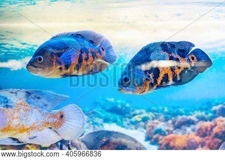 Astronotus Ocellatus Is A Popular Aquarium Fish In The Cichlid Family.