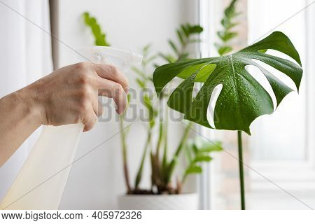 Hand Of Woman Gardener Caring Of Indoor Plants. Female Growing Monstera Leaf, Sprinkling With Water
