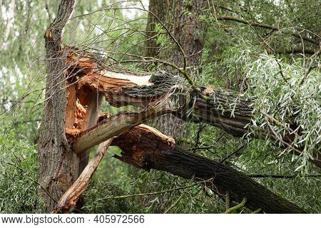 Old Tree Broken By Storm Wind. Falling Tree Accident