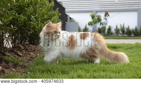 A Persian Cat Is Walking On The Grass In The Front Yard And Look Back.