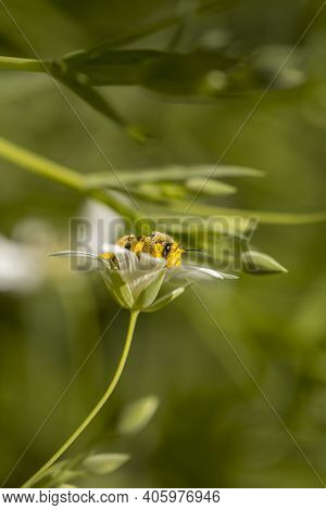 Macro Detail Of Honey Bee Collecting Pollen On Spring Meadow Flowers, Stellaria Holostea Or Greater