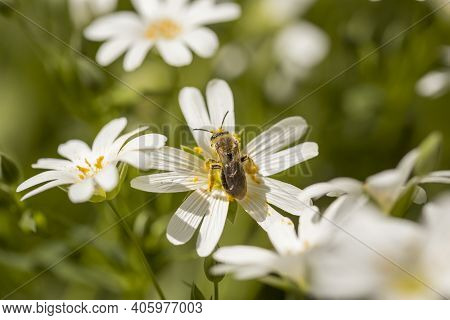 Macro Detail Of The Spring Meadow Greater Starwort Or Stellaria Holostea White Flowers With Yellow A