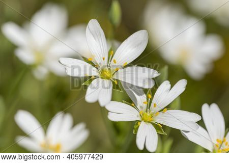Macro Detail Of The Springtime Meadow Stitchwort Or Stellaria Holostea White Flowers With Yellow Ant