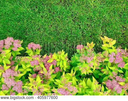 The Front Yard In Spring Garden Landscape Design With Bright Green Lawn And Flowers Spiraea.