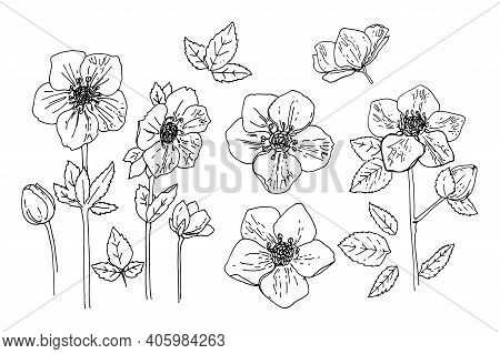 Flowers Vector Line Drawing. Hellebore Drawn By A Black Line On A White Background.