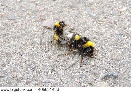 Pair Of Bumblebees Mating On An Asphalt Road