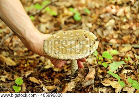 Hand Is Picking Mushrooms. Hand Of A Man Holding A Mushroom. Mushroom Picking In A Forest During The